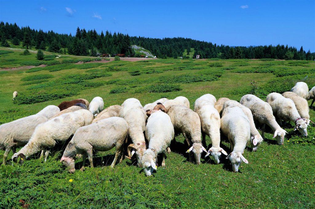 Kuva: Lampaita niityllä